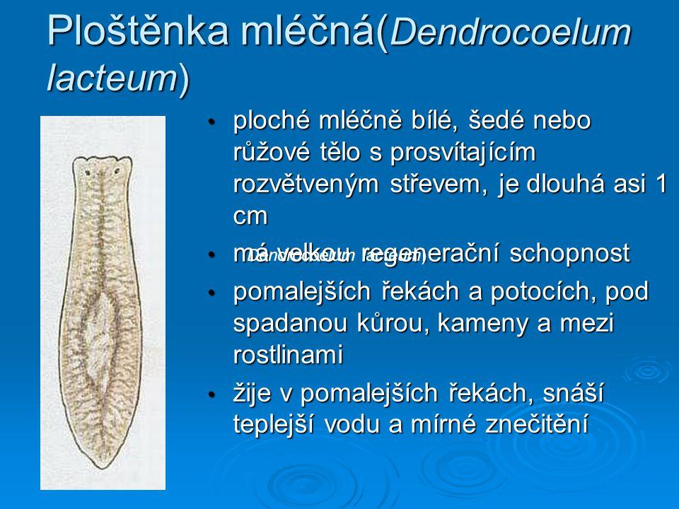 Ploštěnka mléčná( Dendrocoelum lacteum) • ploché mléčně bílé, šedé nebo růžové tělo s prosvítajícím rozvětveným střevem, je dlouhá asi 1 cm • má velko