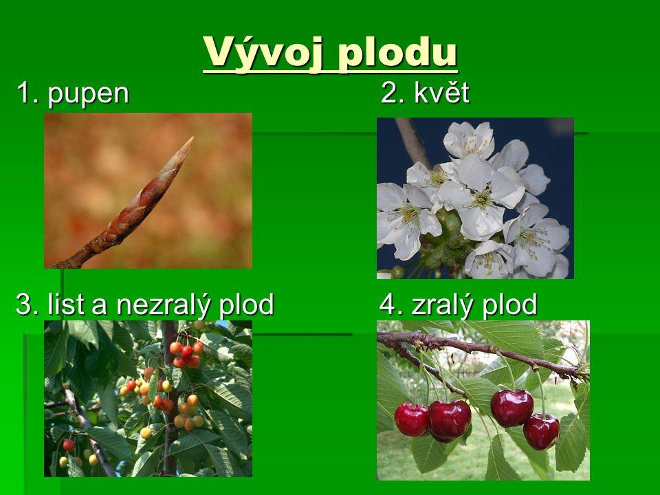 Vývoj plodu 1. pupen 2. květ 1. pupen 2. květ 3. list a nezralý plod 4. zralý plod 3. list a nezralý plod 4. zralý plod