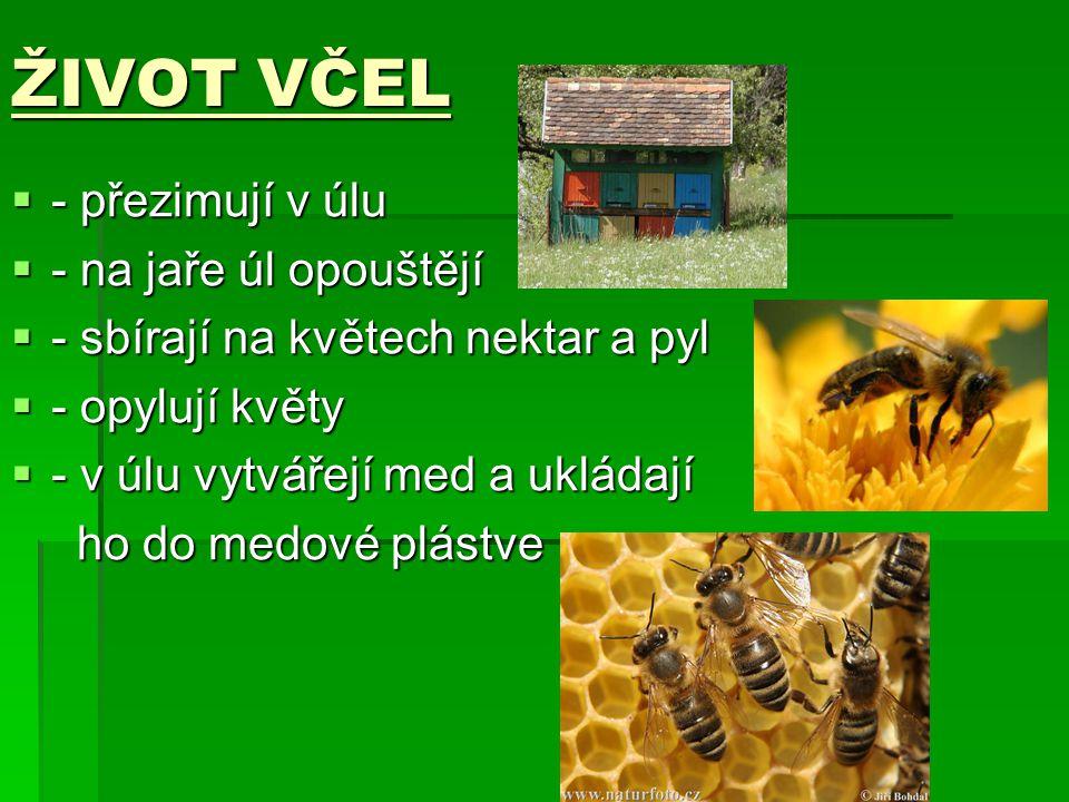 ŽIVOT VČEL ---- přezimují v úlu ---- na jaře úl opouštějí ---- sbírají na květech nektar a pyl ---- opylují květy ---- v úlu vytvá