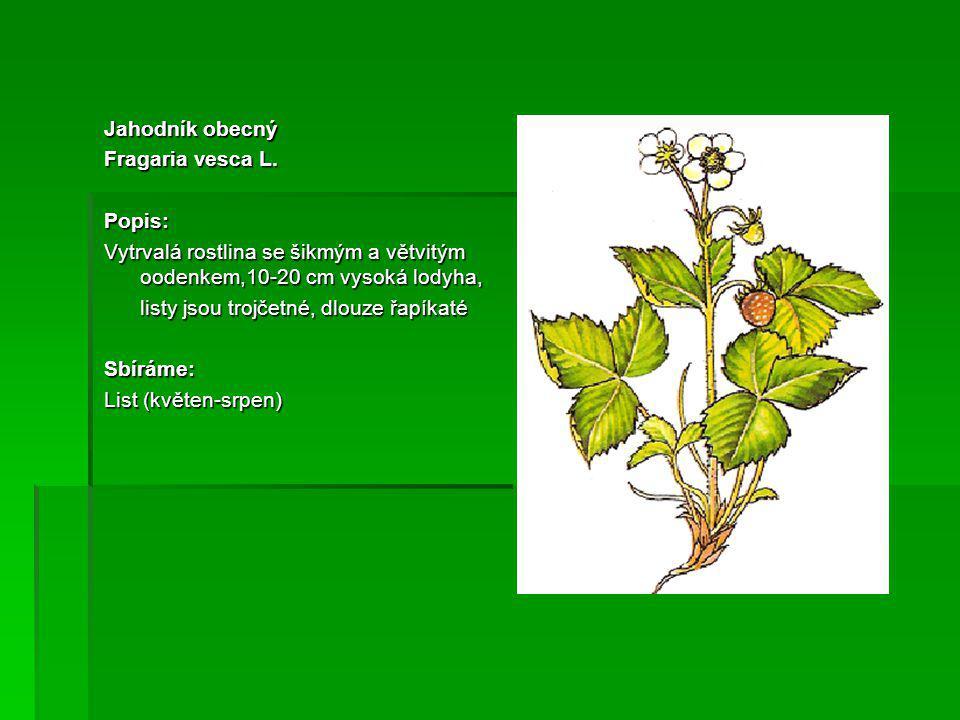 Jahodník obecný Fragaria vesca L.