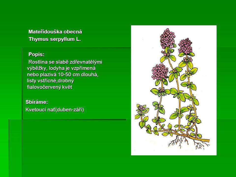 Mateřídouška obecná Mateřídouška obecná Thymus serpyllum L.