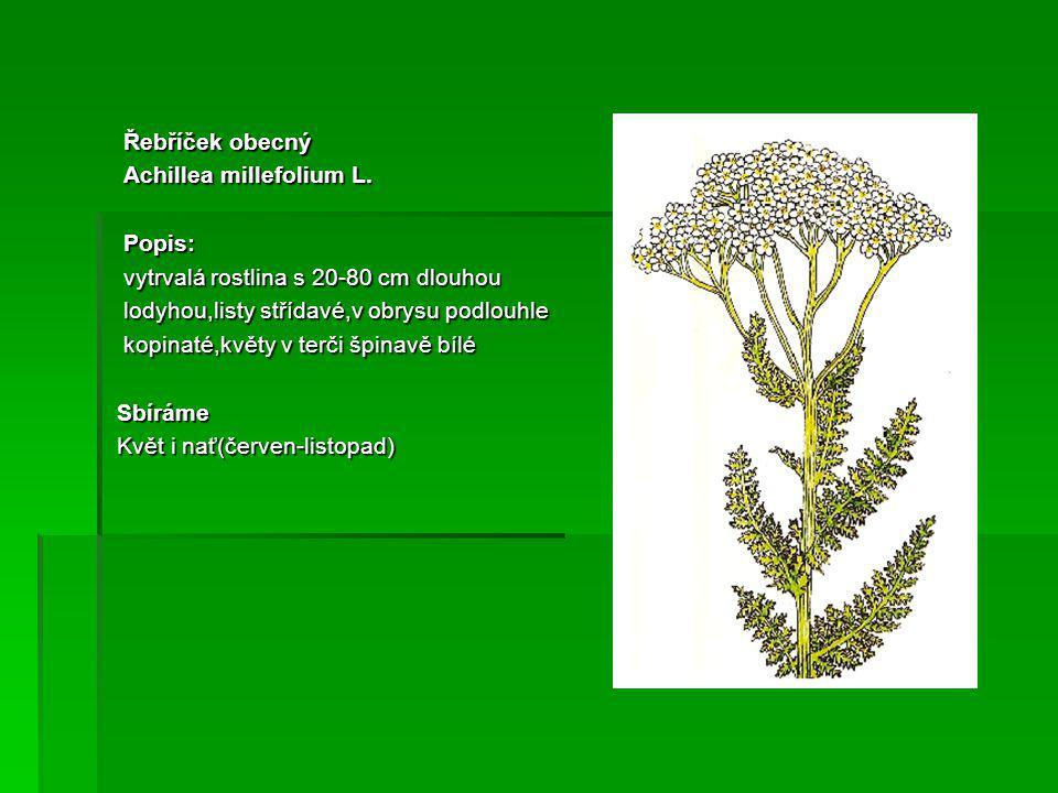 Řebříček obecný Řebříček obecný Achillea millefolium L.