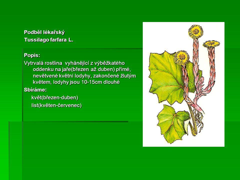 Jitrocel kopinatý Plantago lanceolata L.