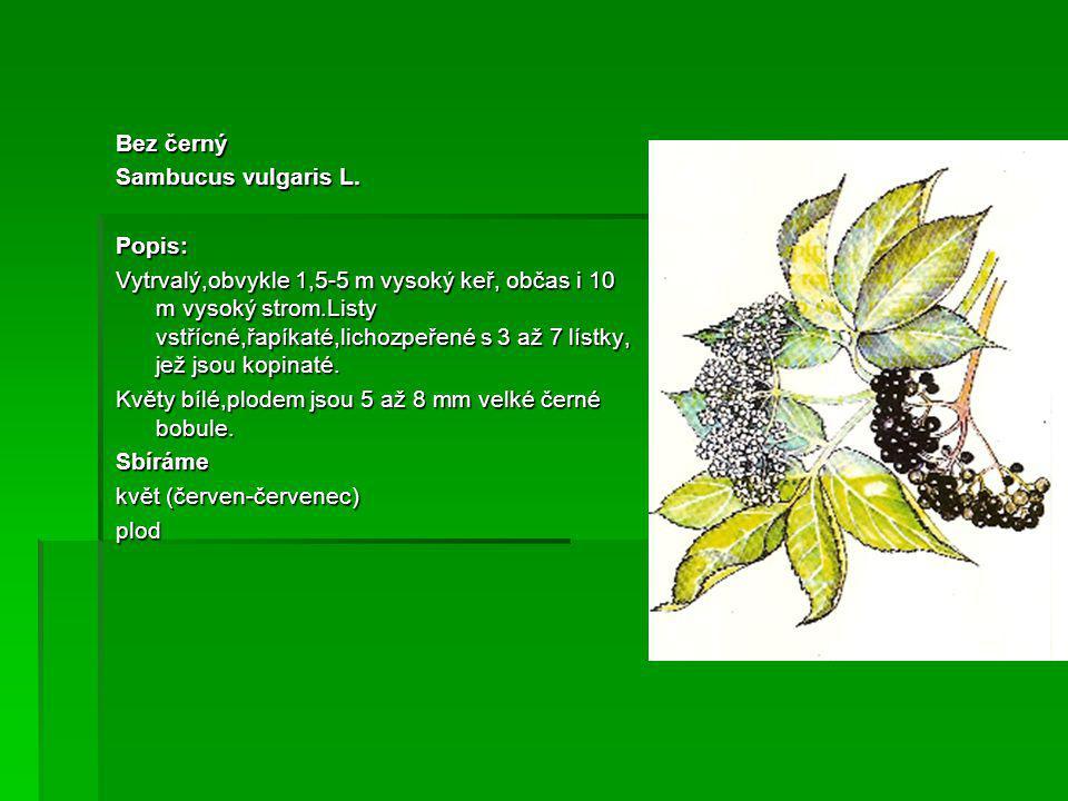 Bez černý Sambucus vulgaris L.