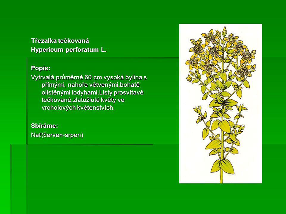 Třezalka tečkovaná Hypericum perforatum L.