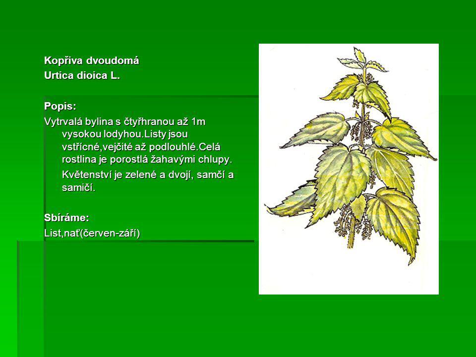 Prvosenka jarní(Petrklíč) Primula veris L.