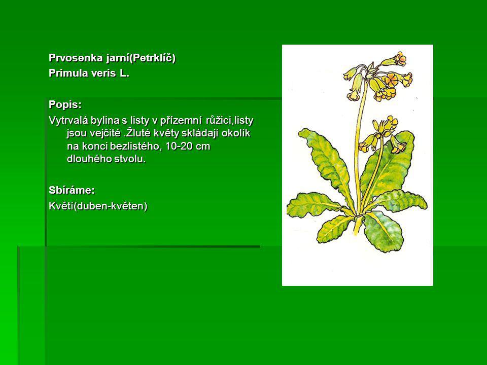 Lípa srdčitá Tillia cordata Popis: Mohutný strom s rozložitou korunou s typicky okrouhle srdčitými listy.