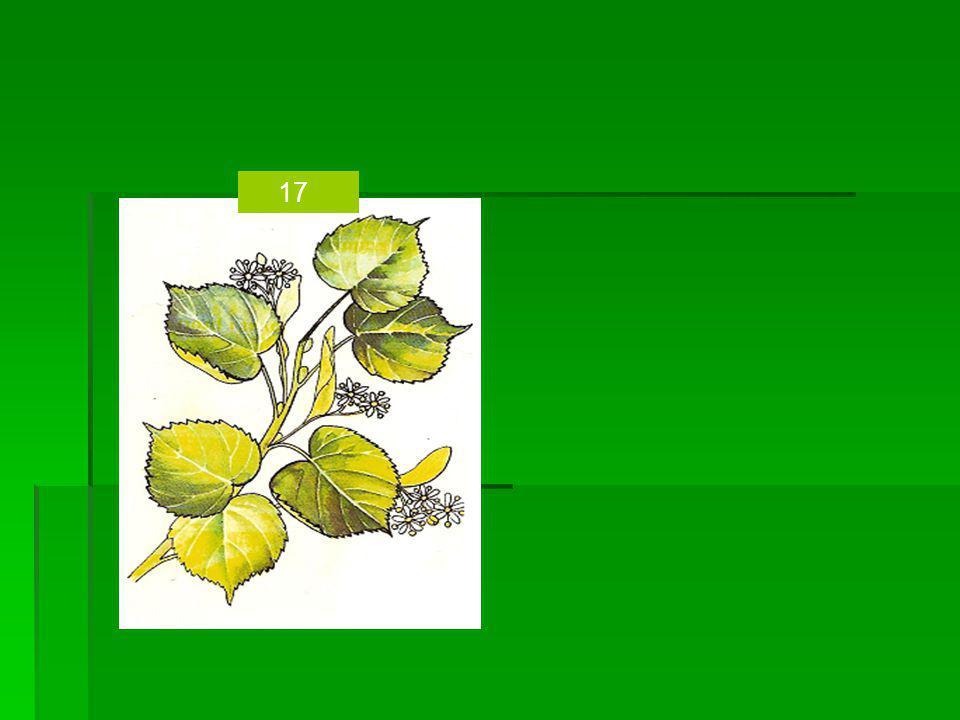 1.Bez černý-květ,plod 2. Kopřiva dvoudomá-list,nať 3.