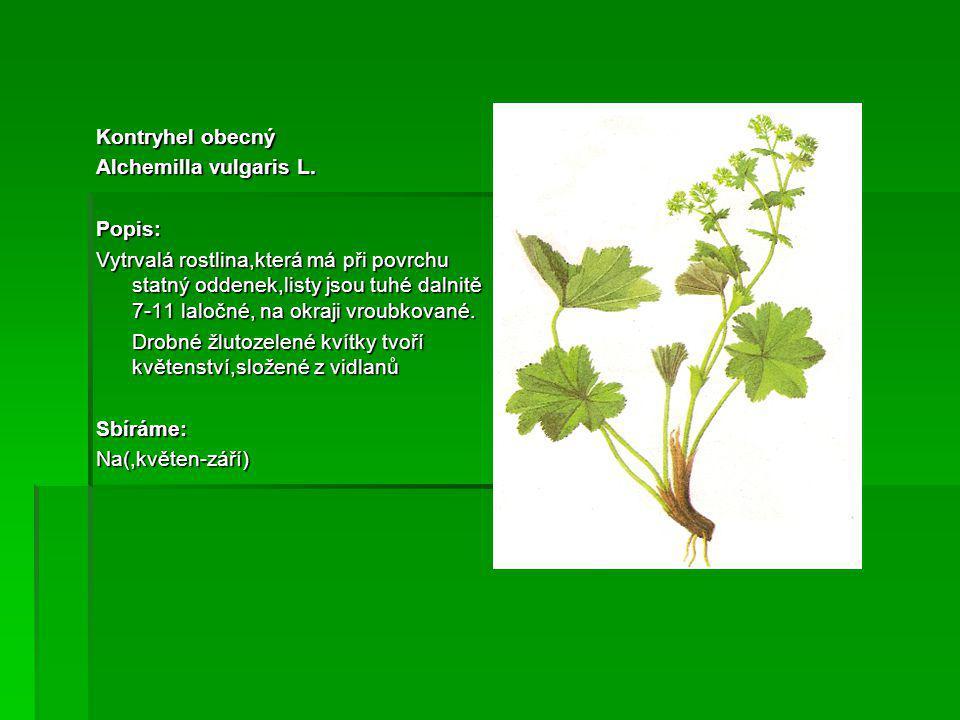Kontryhel obecný Alchemilla vulgaris L.