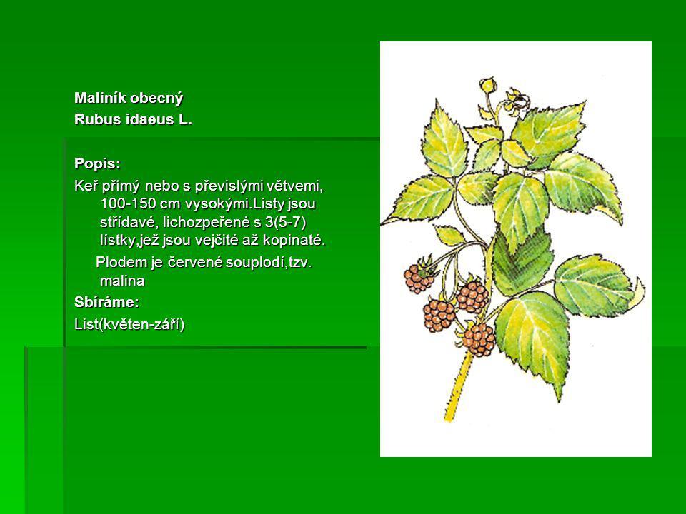 Maliník obecný Rubus idaeus L.