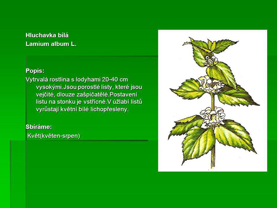 Smetanka lékařská Taraxacum officinale Popis: Vytrvalá rostlina s tlustým kořenem,bohatou růžicí přízemních listů,jež jsou kracovitě laločnaté.Stonek se nazývá stvol,5-50 cm vysoký.