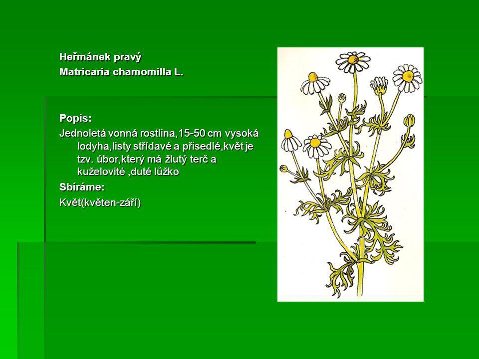 Heřmánek pravý Matricaria chamomilla L.