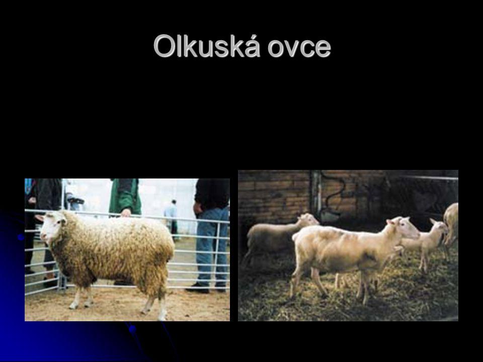 Olkuská ovce