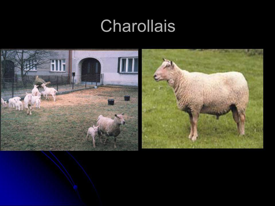 Charollais