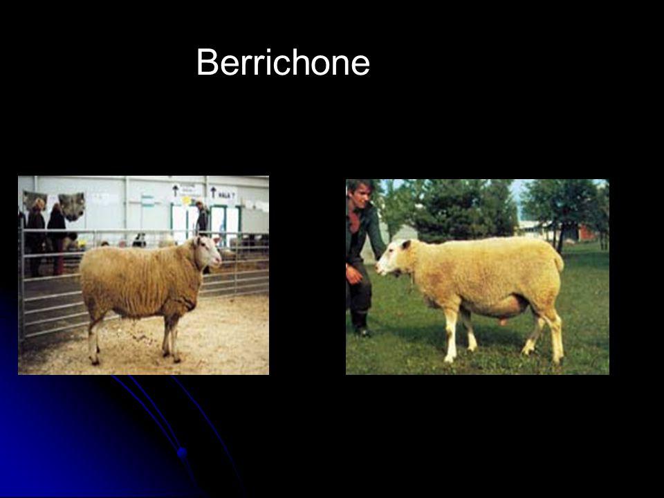 Berrichone