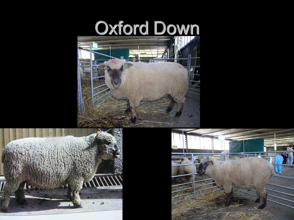 Oxford Down