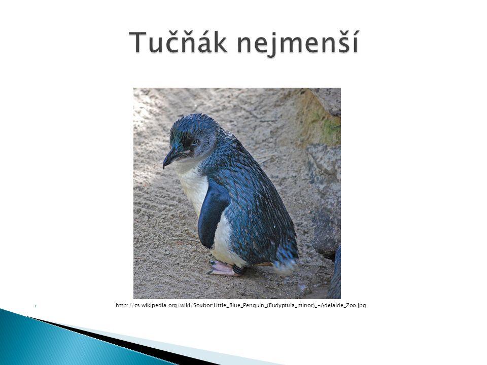  http://cs.wikipedia.org/wiki/Soubor:Little_Blue_Penguin_(Eudyptula_minor)_-Adelaide_Zoo.jpg