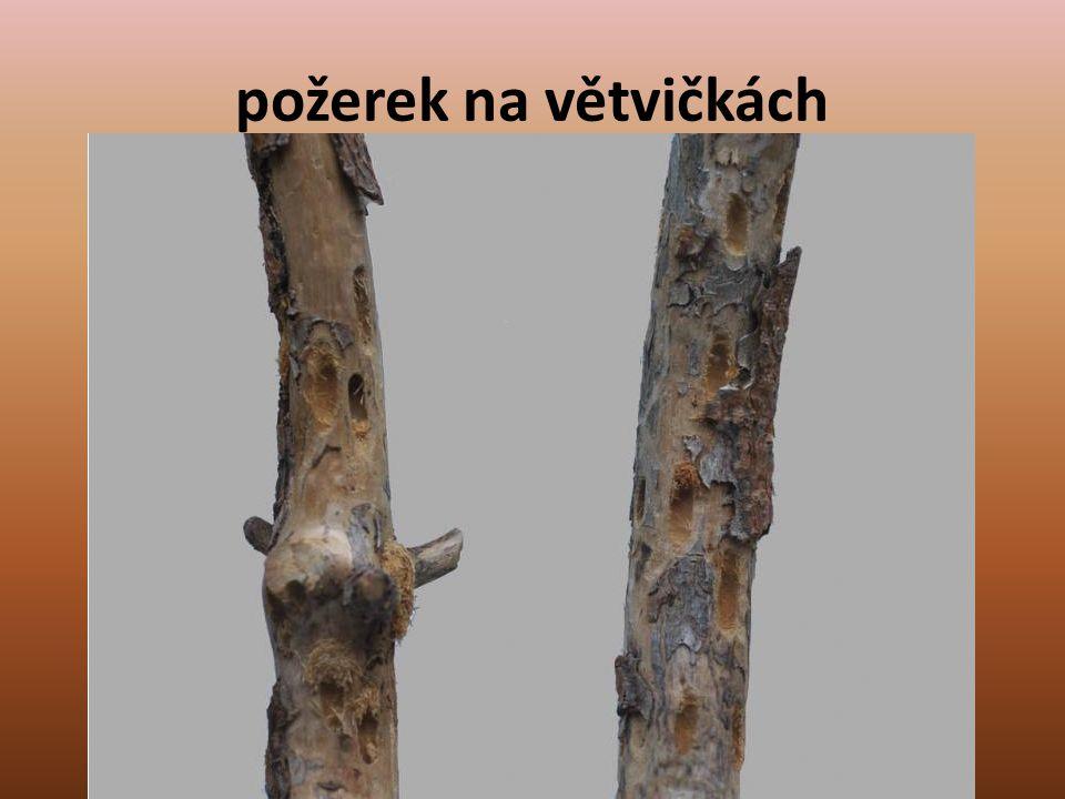 požerek na větvičkách