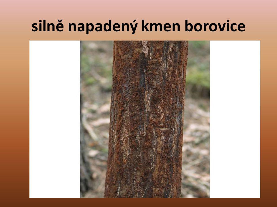 silně napadený kmen borovice