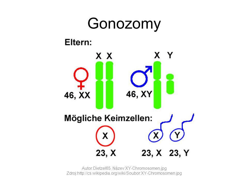 Žena přenašečka x muž zdravý P: xX x XY F1: xX xY XX XY Polovina dcer budou přenašečkami, polovina synů bude nemocných.