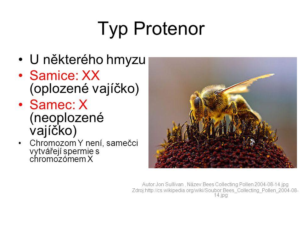 Typ Protenor •U některého hmyzu •Samice: XX (oplozené vajíčko) •Samec: X (neoplozené vajíčko) •Chromozom Y není, samečci vytvářejí spermie s chromozómem X Autor:Jon Sullivan, Název:Bees Collecting Pollen 2004-08-14.jpg Zdroj:http://cs.wikipedia.org/wiki/Soubor:Bees_Collecting_Pollen_2004-08- 14.jpg