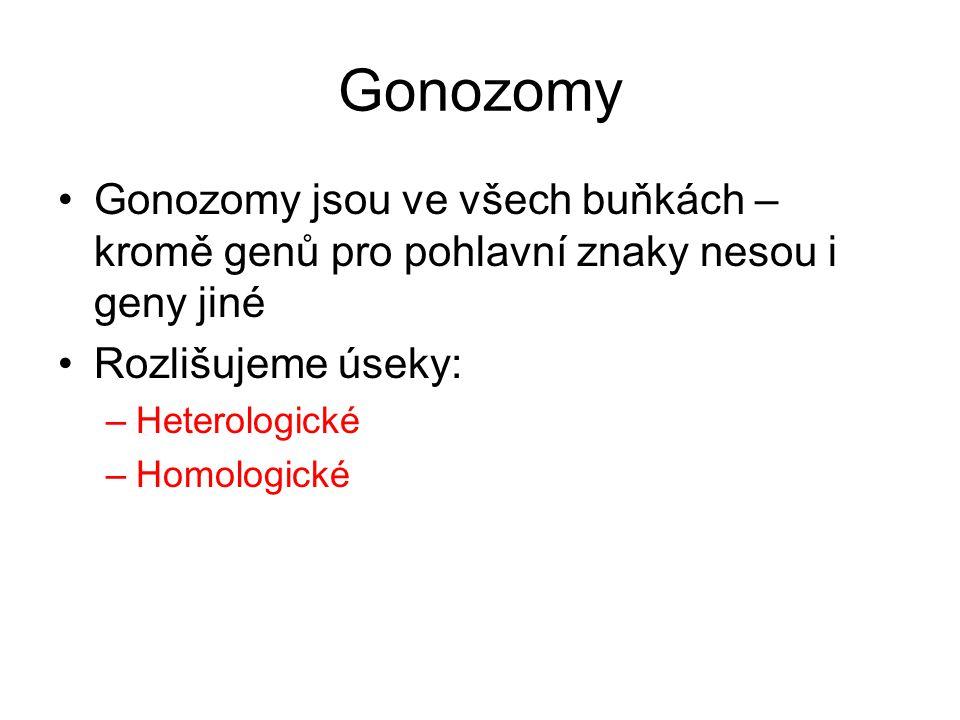 Heterologická část •Geny na pohlaví úplně vázané •Nedochází ke crossig-overu •Gen v heterologní části Y: –Většina genů nefunkčních –Gen SRY→vývoj Sertoliho bb.→produkce testosteronu –Ve fenotypu se projeví i recesivní alela –Tzv.dědičnost přímá (z otce na syna) –Př.ochlupení ušních boltců (tzv.znaky holandrické) •Gen v heterologní části X: –Tzv.