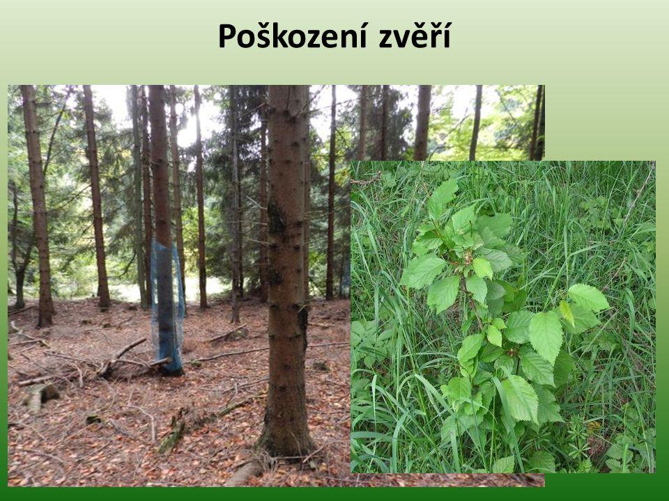 Loupání I -se označuje sloupnutí kůry a lýka na starších stromech.