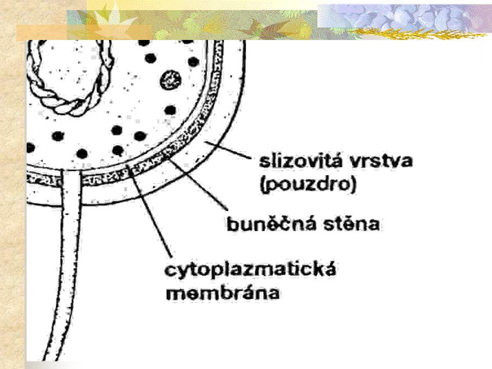 © Letohradské soukromé gymnázium o.p.s. Stavba prokaryotní buňky  obal prokaryotní buňky se skládá ze tří vrstev: slizovitá vrstva na povrchu nemusí