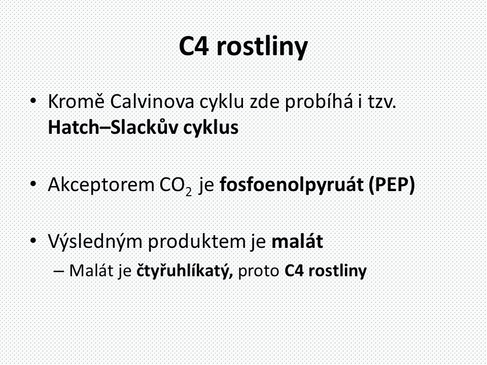 C4 rostliny • Kromě Calvinova cyklu zde probíhá i tzv.