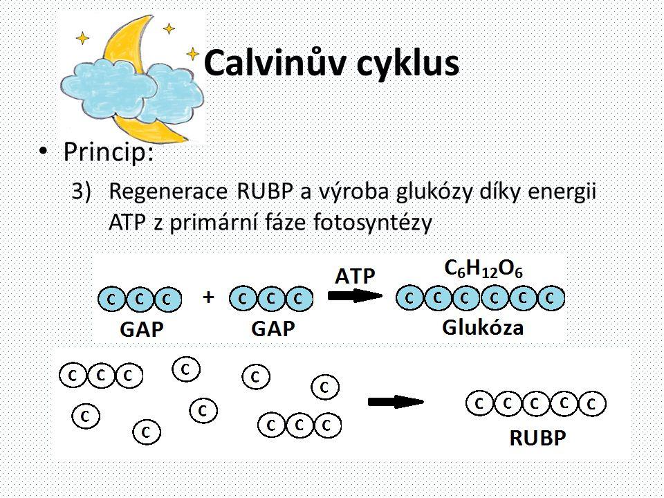 Calvinův cyklus • Princip: 3)Regenerace RUBP a výroba glukózy díky energii ATP z primární fáze fotosyntézy