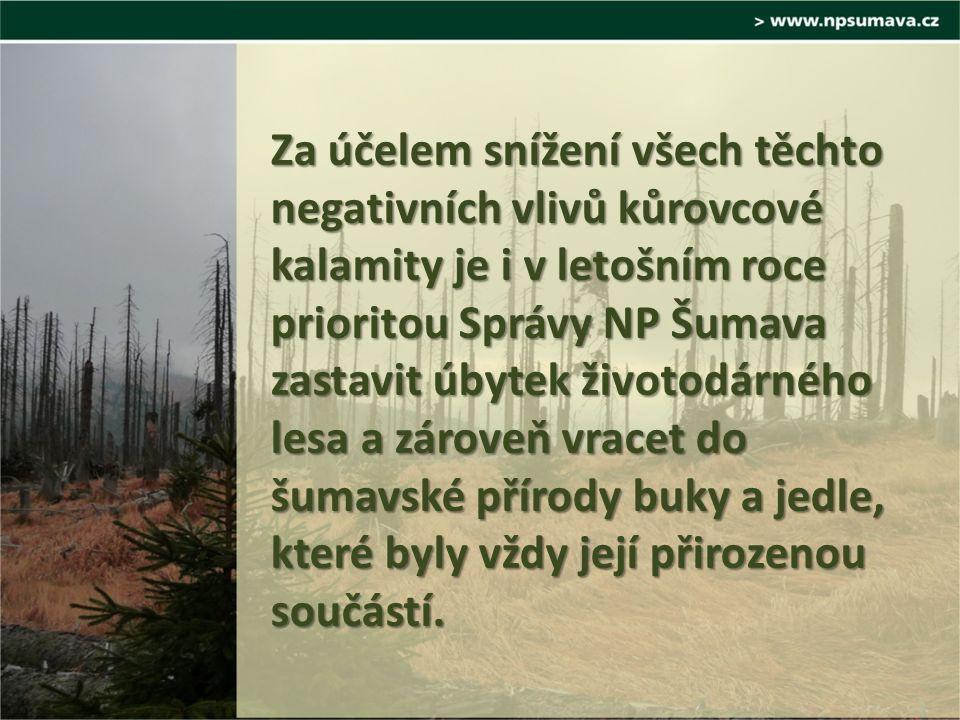 Za účelem snížení všech těchto negativních vlivů kůrovcové kalamity je i v letošním roce prioritou Správy NP Šumava zastavit úbytek životodárného lesa a zároveň vracet do šumavské přírody buky a jedle, které byly vždy její přirozenou součástí.