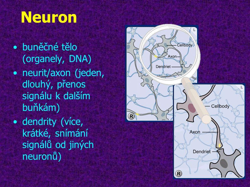 Neuron •buněčné tělo (organely, DNA) •neurit/axon (jeden, dlouhý, přenos signálu k dalším buňkám) •dendrity (více, krátké, snímání signálů od jiných n