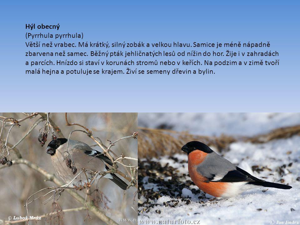 Hýl obecný (Pyrrhula pyrrhula) Větší než vrabec.Má krátký, silný zobák a velkou hlavu.