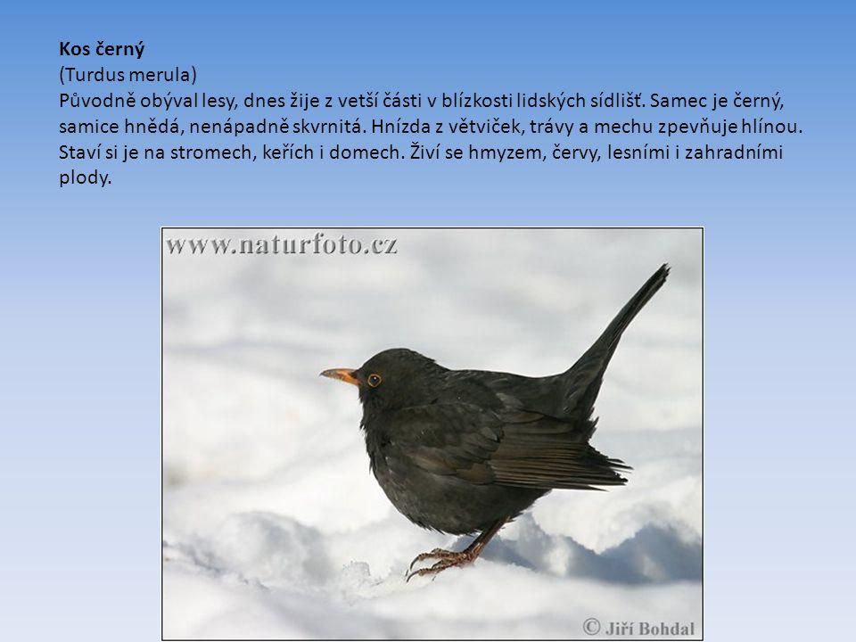 Kos černý (Turdus merula) Původně obýval lesy, dnes žije z vetší části v blízkosti lidských sídlišť.