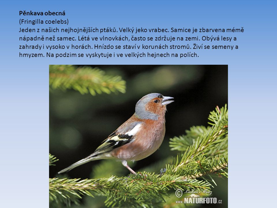 Pěnkava obecná (Fringilla coelebs) Jeden z našich nejhojnějších ptáků.