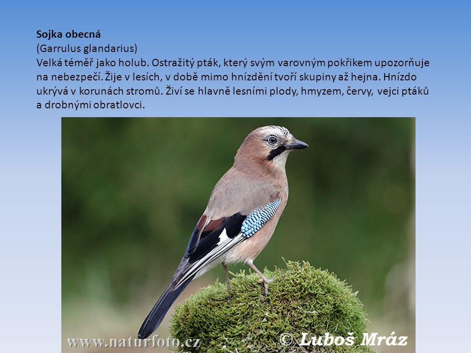 Sojka obecná (Garrulus glandarius) Velká téměř jako holub.