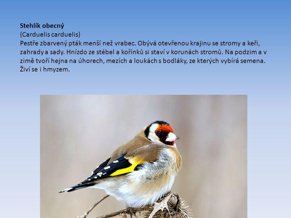 Stehlík obecný (Carduelis carduelis) Pestře zbarvený pták menší než vrabec.
