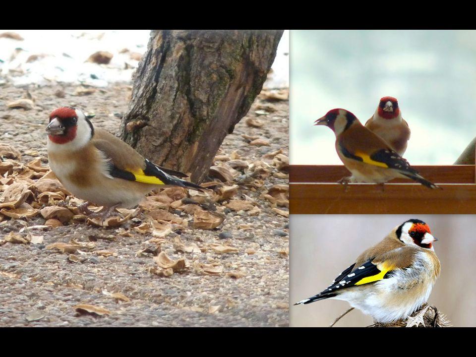 Stehlík obecný (Carduelis carduelis) Pestře zbarvený pták menší než vrabec. Obývá otevřenou krajinu se stromy a keři, zahrady a sady. Hnízdo ze stébel