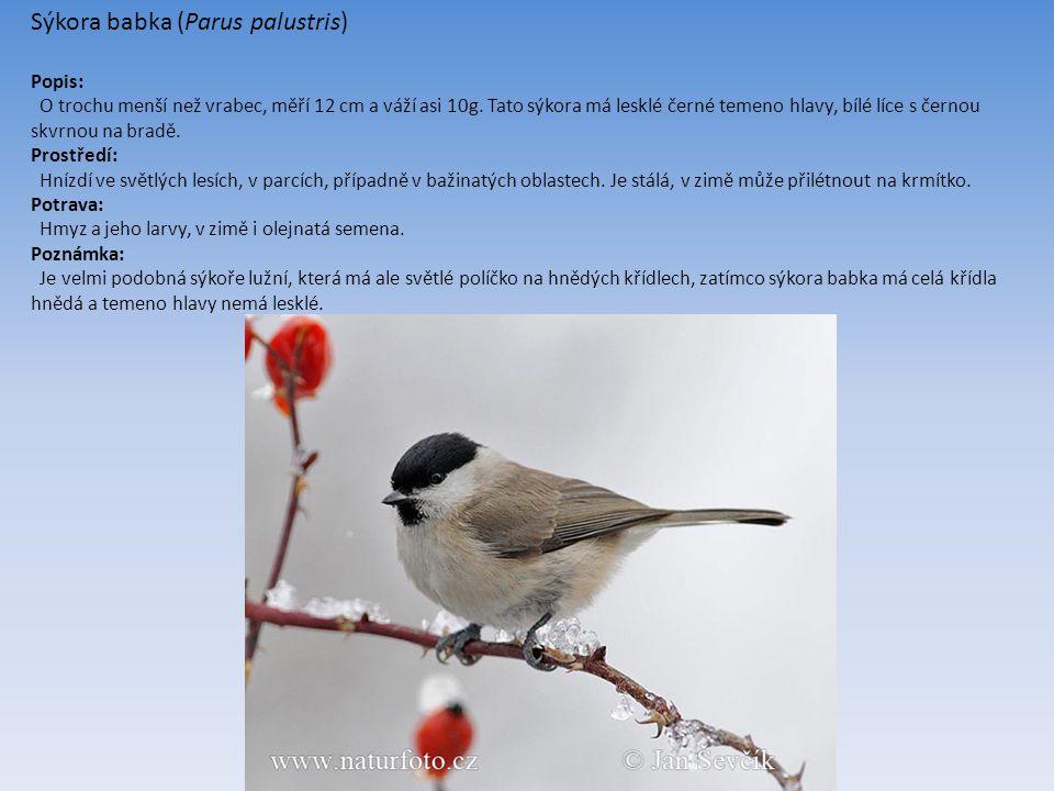 Sýkora babka (Parus palustris) Popis: O trochu menší než vrabec, měří 12 cm a váží asi 10g.