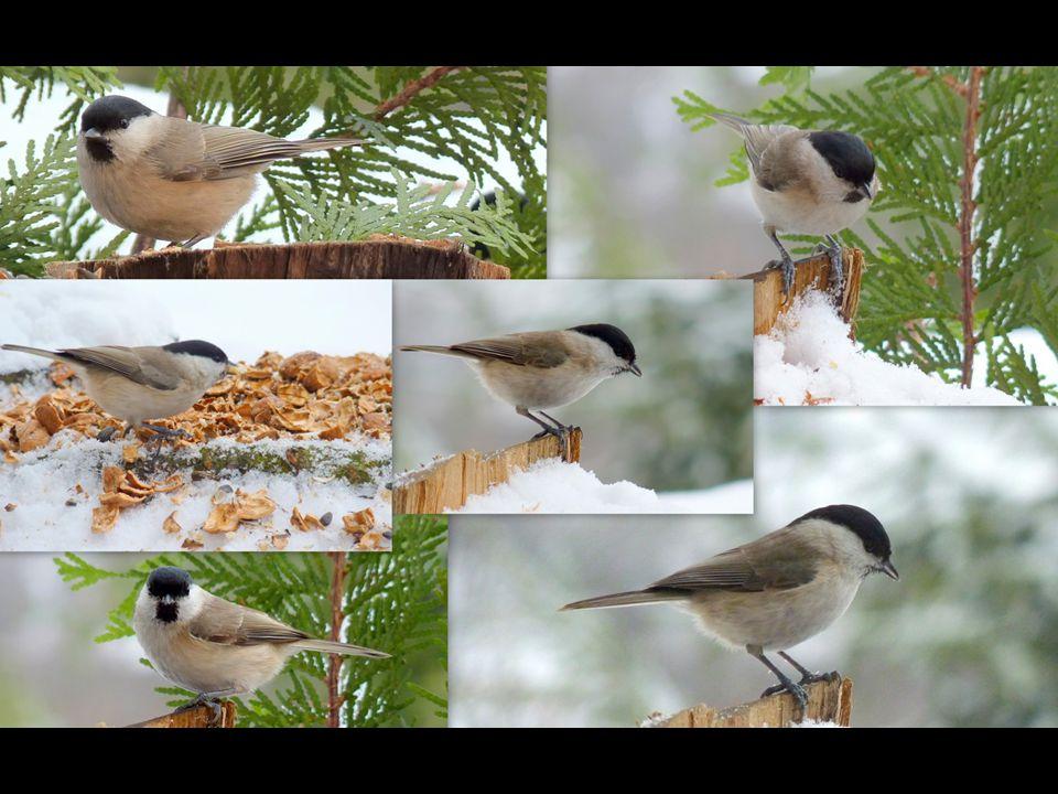 Sýkora babka (Parus palustris) Popis: O trochu menší než vrabec, měří 12 cm a váží asi 10g. Tato sýkora má lesklé černé temeno hlavy, bílé líce s čern