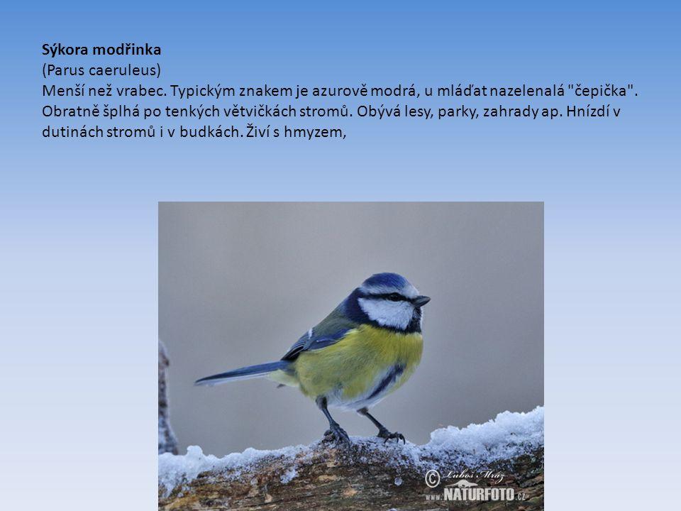 Sýkora modřinka (Parus caeruleus) Menší než vrabec.