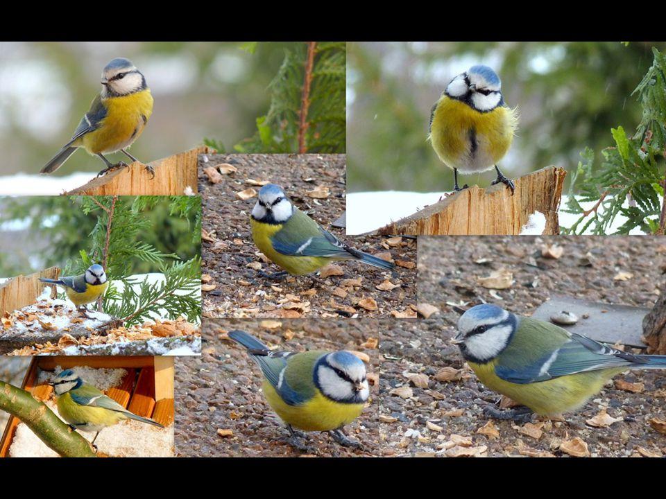 Sýkora modřinka (Parus caeruleus) Menší než vrabec. Typickým znakem je azurově modrá, u mláďat nazelenalá