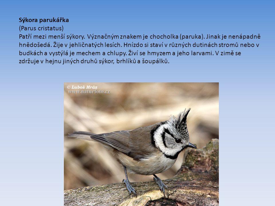 Sýkora parukářka (Parus cristatus) Patří mezi menší sýkory.