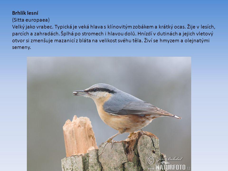 Brhlík lesní (Sitta europaea) Velký jako vrabec.