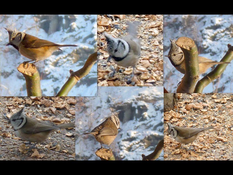 Sýkora parukářka (Parus cristatus) Patří mezi menší sýkory. Význačným znakem je chocholka (paruka). Jinak je nenápadně hnědošedá. Žije v jehličnatých