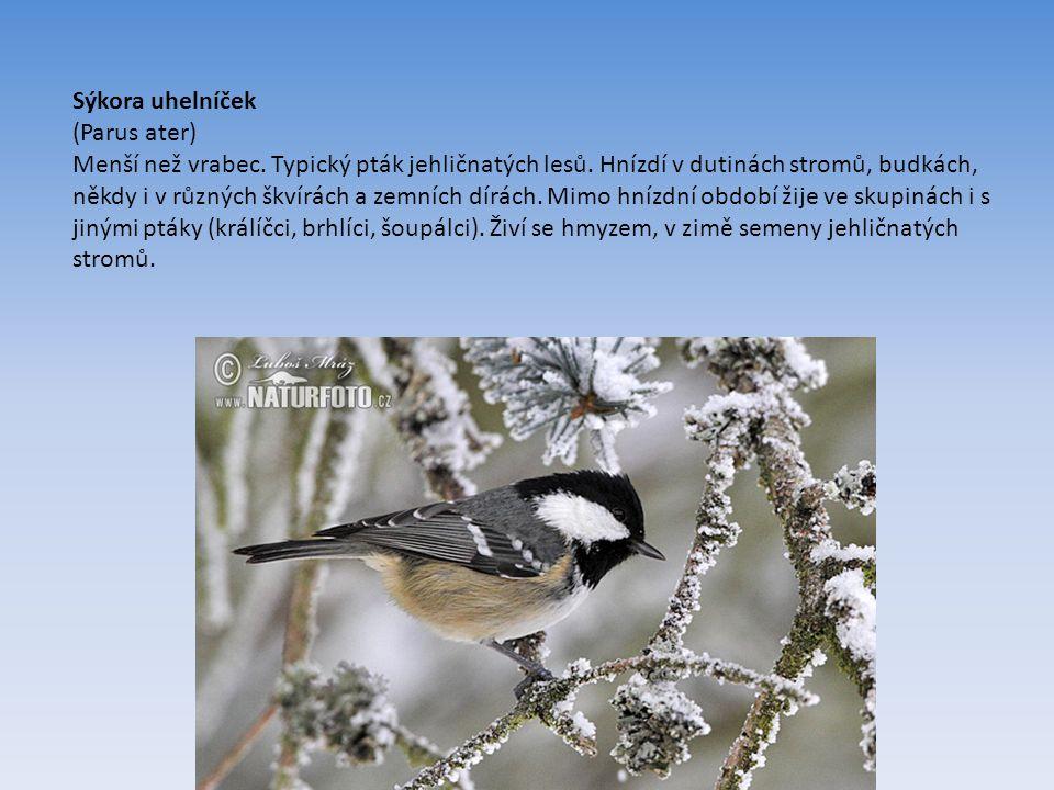 Sýkora uhelníček (Parus ater) Menší než vrabec.Typický pták jehličnatých lesů.