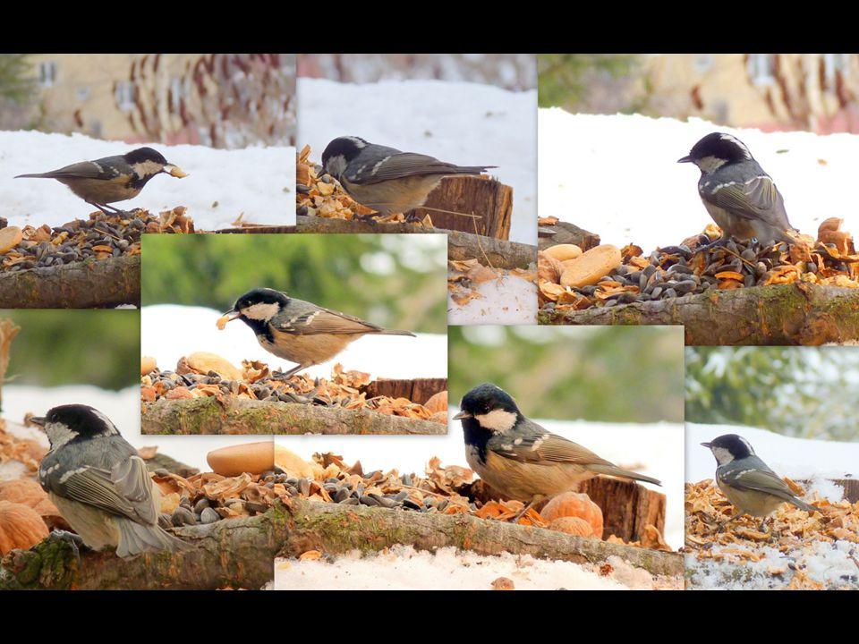Sýkora uhelníček (Parus ater) Menší než vrabec. Typický pták jehličnatých lesů. Hnízdí v dutinách stromů, budkách, někdy i v různých škvírách a zemníc