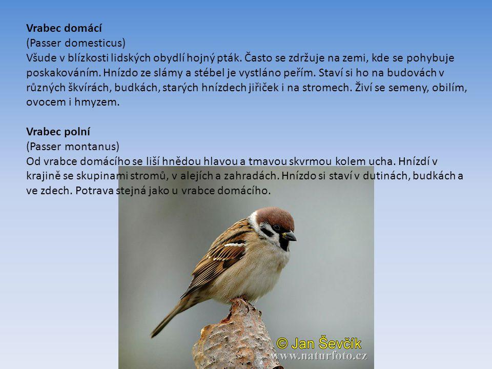 Vrabec domácí (Passer domesticus) Všude v blízkosti lidských obydlí hojný pták.