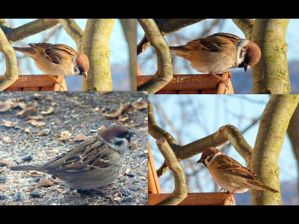Vrabec domácí (Passer domesticus) Všude v blízkosti lidských obydlí hojný pták. Často se zdržuje na zemi, kde se pohybuje poskakováním. Hnízdo ze slám