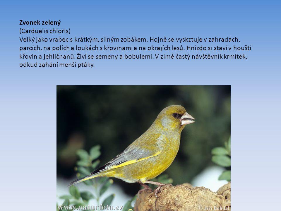 Zvonek zelený (Carduelis chloris) Velký jako vrabec s krátkým, silným zobákem.